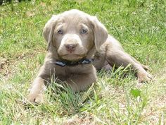 6 week old silver puppy from Cimarron Silver Labs