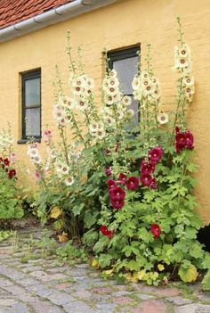 Known as the original cottage garden flower, the Hollyhock has been prized for centuries. The plant is absolutely gorgeous, and has some pretty incredible herbal medicine uses, as well. In fact, in 1859 it was recognized in a medical journal to be an exce Garden Arbor, Garden Beds, Tower Garden, Medicine Garden, Herbal Medicine, Beautiful Gardens, Beautiful Flowers, Hollyhocks Flowers, Malva