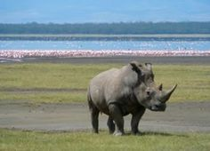 Lake Nakuru Safari Tour is a Private Kenya Safari from Nairobi. You will be picked from your Hotel/Residence or Airport and drive to Lake Nakuru National Park. National Park Tours, National Parks, Diani Beach, Kenya Travel, Tanzania Safari, Wildlife Safari, Adventure Tours, Safari Adventure, Beautiful Sites
