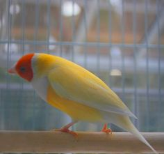 Volume Discounts - Yellow Lady Gouldian Finch
