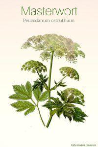 Masterwort Peucedanum ostruthium