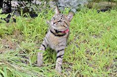 バッタが向かってきて驚くキジトラ猫の虎ノ介