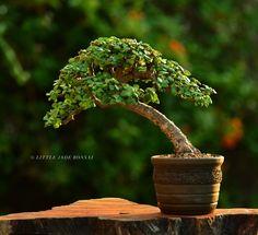 Image of Dwarf Jade Bonsai Tree