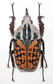 mecynorrhina oberthuri lateral - Google Search Leather Backpack, Turtle, Backpacks, Google Search, Bags, Animals, Handbags, Animales, Leather Book Bag