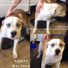 SMITH COUNTY TYLER, TEXAS Ralphie Cause #10471 Pitt male  1 yr old 70 lbs no chip  5/8  Ralphie is on the other side of Bender. They both get along just fine! Ralphie is a snuggler. He is very patient, and he will sit and wait for you to come to his pen. He loves people and is eager to please.  TAG by Tuesday May 13 by 5 PM! Next pickup will be Wednesday May 14 at 10:30 AM.