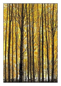 Trees autumn, fall, art, tall tree, forest, beauti, imag, yellow tree, cool yellow