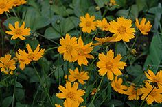 Mouse ear tickseed. Golden. Blooms in June. Easy to grow in full sun and good for cutting. North American native.