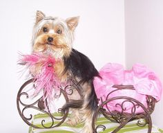 toshiro-yorkies.co.za --- lovley images from her dogs --(webdesign etouch.co.za)