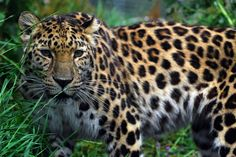 Know The Panthera Pardus Or Leopard, The most beautiful Big Cat - Tibba