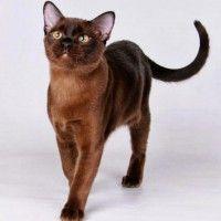 #dogalize Razas Felinas: gato Habana Brown carácter y características #dogs #cats #pets