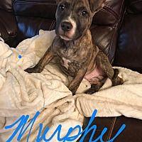 Colmar, PA - Boston Terrier. Meet Murphy a Dog for Adoption.