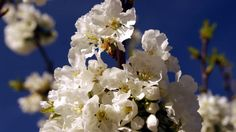 Fotos de: Cáceres - Valdastillas - floración cerezos y entorno - Valle d...