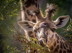 Our handsome little Masai giraffe boy, born June 16, 2014 to Harriet and Silver. (photo by Helene Hoffman)