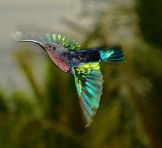 hummingbird in motion by Attila Molnar