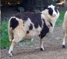 "New to Lowe and Behold Farm   Huckelberry Farm  Finnsheep ""Ramseyer"""