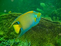 Angel Fish  #tobago #tobagobookings #trinidadandtobago #caribbean #caribbeanvacations #island #trinidad #summer #vacation #travel #photography #nature #wildlife #exotic