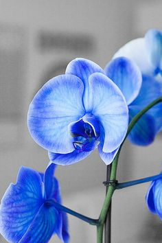 Blue orchid. Possible instead of bouquet