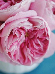 Rosy Splendor