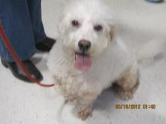 Andrew is an adoptable West Highland White Terrier Westie Dog in Hamilton, NJ. Do you want a dog that will play ball, go for walks, play tug-of-toy with your other dog