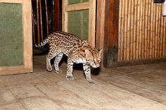 Rumors of an Ocelot entering the Tambopata Research Center & Lodge of a night were proved true after truth seekers set up camera traps to photograph the rarely seen cat - Tambopata, south Peru.  http://tourthetropics.com/south-america/amazon-rainforest/peru/puerto-maldonado/tours/tambopata-research-center  #travel #tours #holidays #adventure #vacation #wildlife