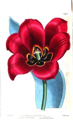 Persian sun's eye tulip. The Botanical Register, Vol. 14. Illustrations by Sydenham Edwards and others.