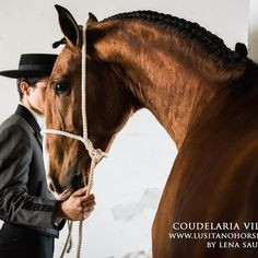 Lusitano colt bred by Coudelaria vila vicosa image by Lena Saugen for www.lusitanohorsefinder.com as part of our Golega studio collection #Golega #lusitanos #lusitano #coudelariavilavicosa #lenasaugen #lusitanohorse