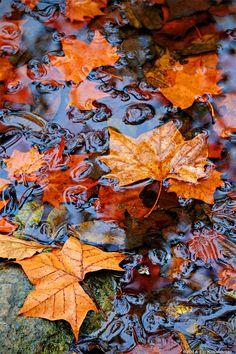 Swimming Leaves by Ed Kreminski Autumn Rain, Autumn Cozy, Autumn Leaves, Fall Pictures, Fall Photos, Cute Fall Wallpaper, Afrique Art, Autumn Scenes, Autumn Aesthetic