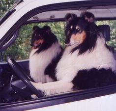 Collies Driving !!  Wish I could teach my collie to drive