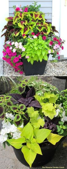 Detailed guide on how to grow healthy Coleus: sun, shade, water, and soil requirements, and how to propagate Coleus from cuttings easily in 2 ways! Plus beautiful Coleus varieties and inspirations on how to use them in a garden. - A Piece of Rainbow Container Flowers, Flower Planters, Container Plants, Container Gardening, Succulent Containers, Outdoor Planters, Garden Planters, Outdoor Gardens, Potato Vine Planters