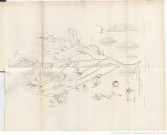 Monographie de l'Erythroxylon Coca / par L.-A. Gosse (de Genève),... -- 1861 -- livre