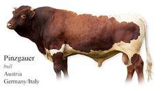 Pinzgauer - bull - Germany/Austria/Italy