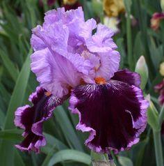 Iris Flowers, Flowers Nature, Purple Flowers, Planting Flowers, Outside Plants, Outdoor Plants, Iris Garden, Garden Plants, Amazing Flowers