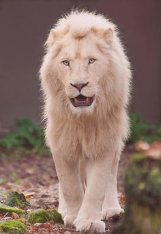 One of the rarest kinds of lions. The white lion!