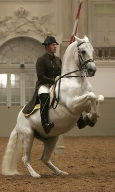 The Levade. Lipizzan and rider from the Spanish Riding School in Vienna, Austria perform the airs above the ground. Pretty Horses, Horse Love, Beautiful Horses, Animals Beautiful, Horse Photos, Horse Pictures, Dressage, Lippizaner, Spanish Riding School