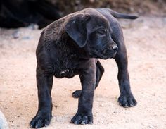 www.elitek-9.com  #bandogge, #protectiondogs, #CEO, #militaryk9, #exotics #vonriesig American Bandogge Mastiff, Executive Protection, Working Dogs, Peace Of Mind, Dog Training, Labrador Retriever, Animals, House, Labrador Retrievers