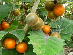 Lulo Fruit or Naranjilla Fruit comes from Central and South America. The fruit has a citrus flavour a combination of rhubarb and lime.