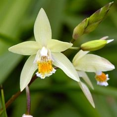 "Hardy garden orchid; Bletilla ochracea 'Chinese Butterfly.' Makes large clumps within a few years with flowering spikes up to 24"" and as many as 10- 20 flowers per spike. Hardiness Zone 7 – 10"