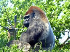 """An impressive silverback gorilla sits quietly in its large enclosure at the Como Park Zoo in Saint Paul, Minnesota, U.S.A. Sadly, it isn't out in the wild where it should be, but there's likely a valid reason for it being looked after in captivity. """"Silverback Gorilla"""" #SilverbackGorilla #ComoParkZooGorilla"""
