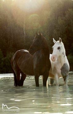Pretty horse friends wading in the river.