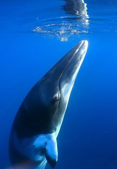Minke Whale is thoughtful. Please help them. Finland & Iceland hunt them & kill hundreds of them every year! :(