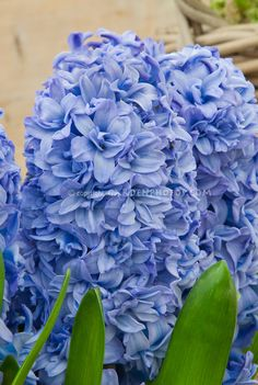 Hyacinthus orientalis Blue Tango in bloom | Plant & Flower Stock Photography: GardenPhotos.com