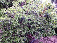 Honeyberry / Haskap berry plants, hardy, do well in shade and make a nice hedge. Maybe along my S chainlink fence? Need two to pollinate.