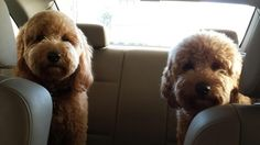 Are we there yet?  English Goldendoodles from Moss Creek.