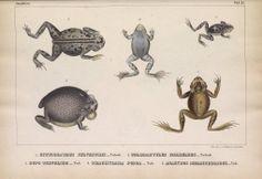 Johann Jakob von Tschudi | Untersuchungen über die Fauna Peruana (1844-1846)