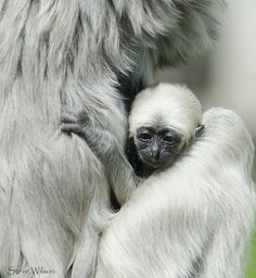 Baby pileated gibbon