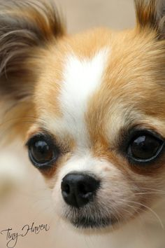 Love that chihuahua face