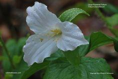 Trillium grandiflorum - Large-Flowered Trillium, Great White Trillium, White Trillium.