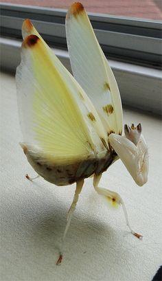 Adult female Hymenopus Coronatus (Orchid mantis) in a threat display.