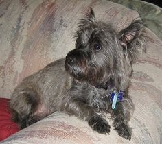 cairn+terrier | Cairn Terrier Information and Pictures, Cairn Terriers, Cairns