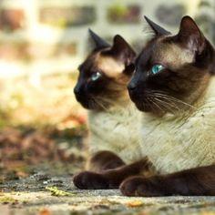 Bellos gatos siameses